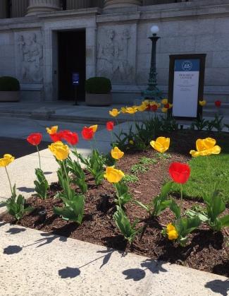 Tulips at NARA, business/research entrance, April 2018